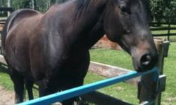 7yr. old mare by Dashin Bye out of Osceola Warrior mare, lightly raced SI85. Bred to Fast Moon Chic due March, very nice!! This ad was posted with the Kijiji Classifieds app.