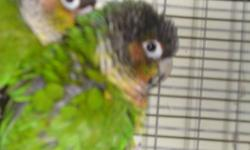 1 pair of breeding cockatiels $50. - normal split to pearl male and cinnamon female. 2 female cockatiels with cage for $50. One Lutino and the other is a normal grey. 1 bonded pair of Yellow-sided Conures, DNA'd $300 with cage $350. All birds are healthy,