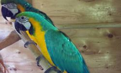 Blue and gold macaws 5 and 6 years old male is banded Selling for 3400$ Red wings 3 years old male is banded 1100$ Male senagal 3 years old banded 750$ with huge cage and accessories Years and years of breeding available have not been bred this year so