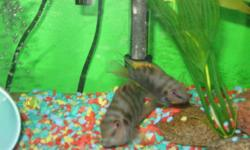 I have a breeding pair of convict cichlids for $10.00 or trade for 5 or 6 livebearing fish.They have had babies in the past. I just don't have time for them anymore.These fish are perfect for anyone getting in to fish breeding . If interested e-mail me at