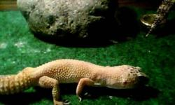 Hello These geckos are very healthy. They are two years old, the leopard gecko is a boy and the sunglow is a girl. Even though I haven't been breeding them they have being mating with each other very often and I dont really want to sell or start breeding