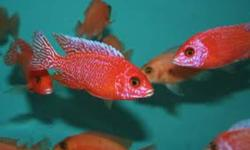 Axelrodi   1 male 1 female  $10 [rare] males are blue with black fins females are grey with yellow fins Yellow regals  1 male 2 females $12 Strawberry peacocks  1 male 2 females  $12 Saulosi  group of 3 $10 males not differentiated yet males turn blue