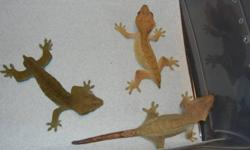 BREEDING GROUPS OF CRESTED GECKOS   1st Breeding Group Includes: 18x18x24 Exo Terra Terrarium Plastic Vines Water Dish Lay Box 1 Male Crested Gecko 2 Female Crested Geckos $400 Pics #1 and #2, the male is the far left gecko.   2nd Breeding Group