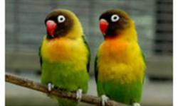 A breeding pair of African Black Mask love birds is up for sale. Perfect health and feathers. On a very healthy diet of fruits/veggies/pellets/seeds/sprayed millets..... Asking $125 firm for EACH BIRD. Please call at 647-330-0230