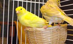 Breeding pair of Yellow Canaries for sale. They come with their cage and their toys, cups, everything in the cage. Will supple a small bag of food.
