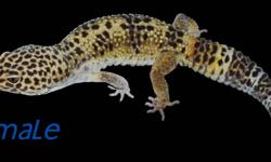 We have a breeding pair of Leopard Geckos (Normals) for sale. The female is in shed in the attached picture. We might consider separating the pair, however we would prefer them to go together. Tank is not available for sale. Thanks for looking!