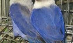 I got a pair of black mask violet banded love birds and an extra female up for sale. asking $125 for each bird. $125 for the extra female and $250 for breeding pair. Plz call at 647-330-0230