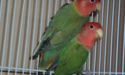 I gotta colony of Opaline breeder birds of different ages and colors (green, Lutino Pied and some orange faces too) All best breeders top of the line birds. Perfect health and nice smooth shiny feathers. Dark features. Asking $100 for each bird, will give