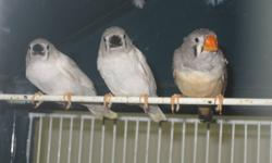 I have 3 pairs of Zebra finches all needing new homes. They are all unrelated and just coming 1 year old. They are proven breeders by myself. The babies are just leaving the nest now.They are 20.00 per pair. (No cage included) They are fawn and off white
