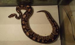 Breeding trio of ball pythons, 2 females one male.  All normals, one female will likely lay in the spring, possibly both. Male is het clown. Please email for more info, MUST include name, phone number and email or you will not be replied to. Serious