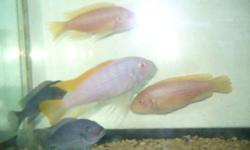 I have a  very nice breeding trio of Maylandia Greshakei Albinos for sale they are a very nice looking Cichlid and show a awsome white with yellow fins and are shure to add a nice color contast in your cichlid tank they breed regularly and are very