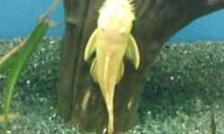 """Golden Bristle nose Plecos. approximately 2 years old and 5"""" long. asking $15. needs to go today!"""