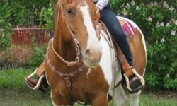 Skip is a 14 year old reg. brown tobiano paint gelding, 15hh about. He has been used for almost everything. I have used him in   4-H, gymkhanas, clinics, pasture riding, chasing and checking cows, roping and just pleasure riding. He is UTD on all his
