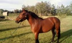 15 hh bay standardbred gelding for sale. 7 years old. Good for farrier and trailering. Very quiet undersaddle.   Broke, but no fancy training. Walk trot lope, although his lope needs a bit of  work. He's not green but he could use some finishing work if