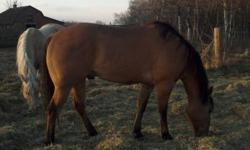 10 year old quarter horse buckskin (not registered) gelding for sale. Approximately 15.1 hands. Excellent confirmation. Smooth, athletic. Would make great 4-H horse for experienced teenager. All vaccinations and deworming are up to date. Teeth done last