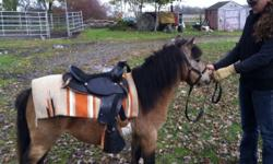 """Offering 38"""" non reg mini buckskin stallion 'Flirt' rising 3 yrs in January 2012 very friendly great little personality and character nice QH build very willing, lots of potential for riding and driving cute movement has been saddled cross ties good for"""