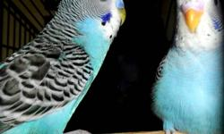 10 Budgies for sale, in excellent health. 7 budgies are 8 months old. 3 budgies are 4 months old.  $10.00 each. contact Dave