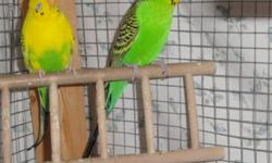 FIRST COME, FIRST SERVE   Hello,   I am offering 4 budgies for sale.   The birds are between 1 1/2 - 3 years old. There are 2 males and 2 females.   You may have the cage with all the birds if you so desire, but right now it is just the budgies I am