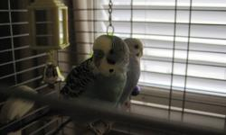 I have two budgies for sale, one green/yellow/teal/black and one blue/white/black. They come with a double tier stand (we only put on one tier) all their toys, food, treats and dishes. Cage is very simple to take apart for cleaning, simply unhook the