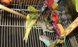 budgies for sale cheap...some are tame, some are not, various colours and ages.