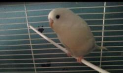 I am offering 2 budgies and a huge cage with extra purches a ladder and swing. I was recently asking 100 but I've lowered my price due to the urgency of needing them gone. One bird is a standard multi colored budgie while the other male is a fancy white