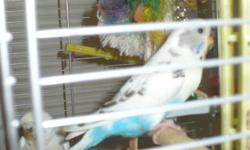 white and blue with black, Buggies for sale, Three of them are 7 months old, needing a home Four more are only 3 months old One 2 year (mother) $20.00 each, i have only two cages to sell with a bird for 30.00 each. it is great time to have them as they