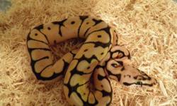 2 male Bumblebee Ball Pythons available.   $400 each