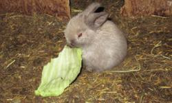 2 Dwarf cross bunnies, when full grown they are about the size of a tissue box. I have black, tan and a gray colored bunnies that need a home. Please call 883-2301 if you need more info.