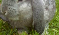 Very cute 2 year old  GIRL ,Grey Holland Lop bunny. Comes  with cage, dishes, leash,harness and what evers left of food etc at time of pick up :) Happy Holidays ...  PLEASE CALL 613-803-1516