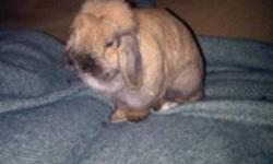 Adorable and friendly Holland Lop eared bunny for sale. Her name is Macy and she is 3 years old. She is a very social and loving bunny that deserves more attention than I can give her. Would love for her to go to a young family with child/children. I also