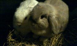 I am GIVING AWAY to a GOOD home a 9mth ol bunny.  Her name is Celeste. She is bigger then the baby bunnie and needs more space. I am a single full time working mother of two. I'm affraid I have to let her go. She is a beautiful color and well mannored. I