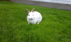 Im selling my mini rex X bunny named Dexter A Little history about him: I bought him so that my other bunny Walter could have a buddy but the two of them do not seem to get along. Dexter is a very friendly bunny but he is very shy at first and takes
