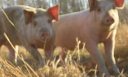Looking for naturally raised pork? We grow ours in a no stress environment, no vaccines or medication in the feed, plenty of room to run around outside with green grass in summer and a warm barn for winter with hay as bedding and for eating. The best pork