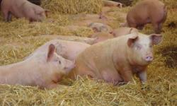 Raised outdoors in a coverall shelter. Grain fed, NO growth hormones. Pigs are up to 300 pounds each.