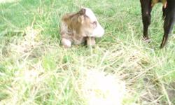C.R. Mini Farm Minature bull calf for sale - Herford -Dexter/Zebu cross Born July 2011 - Ready to go end of Nov. Working on halter training currently Will sell intact or castrated -buyers request For pet or breeding - not for sale for meat