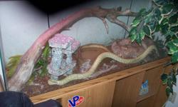 I have a king snake for sale not sure if its male or female  This snake is about 4 feet long and very friendly comes with 55g enclosure, 2 fluorescent lights, heat lamp, underground heater, water dish, house, rock and separate 35g feeding tank for live