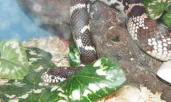 Absolutely calm and tame.   5 foot+, probably female.  About 6 years old.  Eats only frozen mice, never taken live.   Great first snake. Can include a book and other goodies if needed to get you started.   See photos.  Please email any questions you may