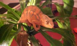 A beautiful two year old healthy panther cameleon, includes two heat lamps,mesh cage filled with vines and fake leaves, water dish and humidity monitor. Text or call for more details.