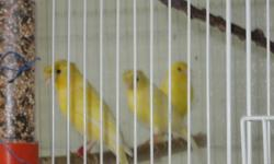Lovely yellow Rheilander canaries.M/F,plain or crested.$50-$75 403-835-2677