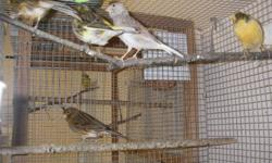 Two Fife canaries Fawn male and Varigated female $65 pair. 3 American Singer females $30 each or $75 for all 3.