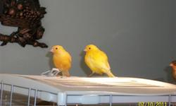 I have canaries for sale 2 Yellow male and 2 yellow & black female the male $85each & the Female $75 each