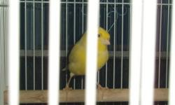 Canaries for Sale! Variety of colours and sexes; pied yellow & black, pied yellow & brown; brown like a sparrow; red factor; orange and yellow male german rollers that are singing. Males start from $189.99 each Females $70.00 each or $150.00 for a pair