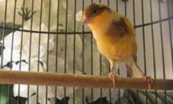 Beautiful Canary !! Extremely friendly and kind !! $70 or B.O.