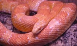 I have a Caramel Corn snake available for sale. It is almost full grown, but has a bit more to go. I've had this guy since he was just a baby. He's very docile and handle-able (as most corn's are). Not sure if the snake is male or female, but you will be