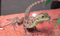 I have just a few 7 week old, captive bred green basilisks available.  Parents of babies on site.  Feeding well on several types of insects. Babies will ONLY be sold to experienced or at least knowledgeable homes, so please do your research before
