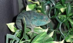 Yoshi is a 1.5year old male chameleon (mixed breed). He is teal in colour and about 6 inches or so long (plus tail).  He comes with all the stuff you need for him, and he eats crickets. Chameleons do not do well when they are handled overmuch, and as such