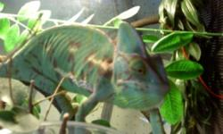 I have two very well kept veild chameleons. My price includes their tanks, extra lights, and many other accessories incluing their vitamins ment to maitain the animals natural intake of minerals. They have been around small children, and older adults,
