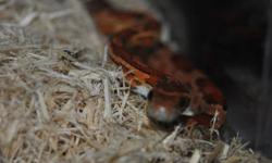 got 2 small okeetee corn snakes, 2 years old around 18 inches long. $40 each or both with tank for $100. pick up only