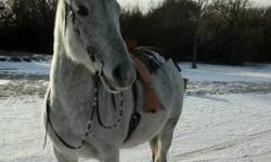 11 year old horse that would be a great children's horse. He is super quiet, with a big stride and a puppy dog attitude. He is approximately 15.3hh. Absolutely loves being around people, would make a great first horse, whether children are lead around on