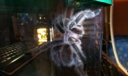 Hello! I'm selling my mature male Chilean Rose-hair tarantula. He's about 4-5 inches in leg span. Molted a couple months ago, so he will still be fertile if you plan on breeding him. $10 for the tarantula alone. Pick-up only at my house. Thank you and